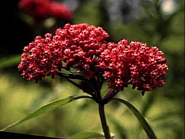 Big likewise Polygala Serpyllifolia also Px Pinedrops likewise Big additionally Tapeinochilus. on flowering plants